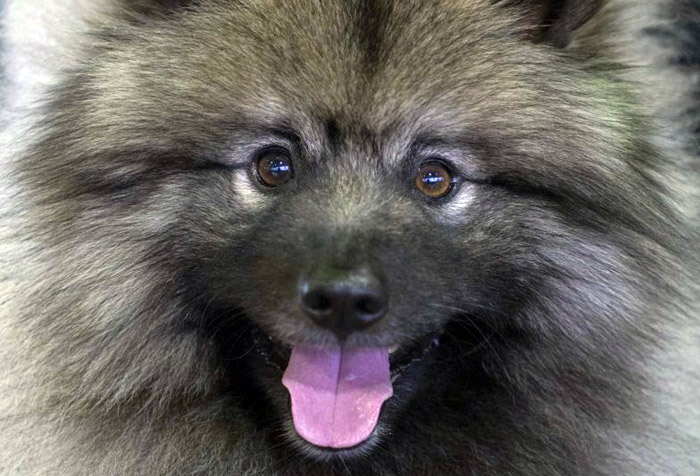 Keeshond-named_Rider_ins