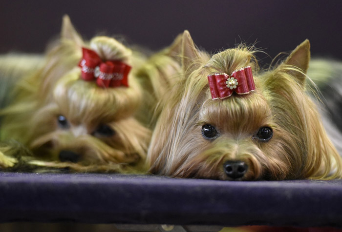 Yorkshire-Terriers_Bogie-Rorie_ins