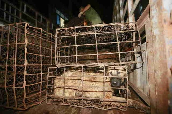 dog-meat-ban-yulin-festival-china-1
