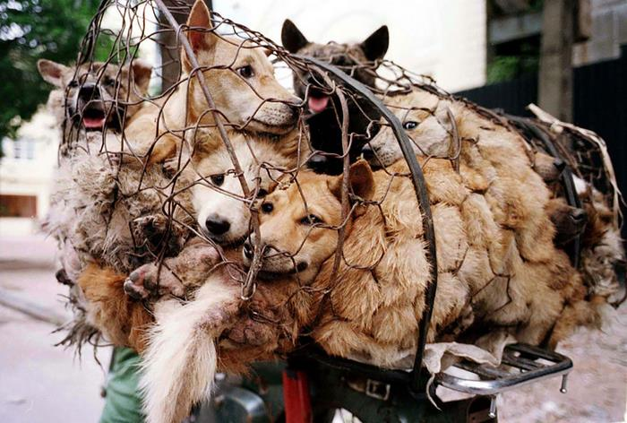 dog-meat-ban-yulin-festival-china-9