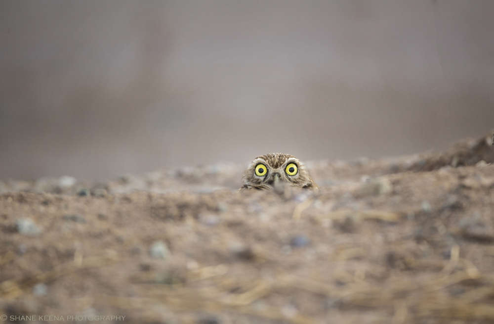 The Comedy Wildlife Photography Awards 2018 Shane Keena Redlands United States Phone: 909-362-7804 Email: smkeena@gmail.com Title: Peek-a-boo! Caption: This burrowing owl always has the same intense and crazy eyed expression no matter how many times I return to photograph it. Description: Animal: Burrowing Owl Location of shot: Salton Sea, CA