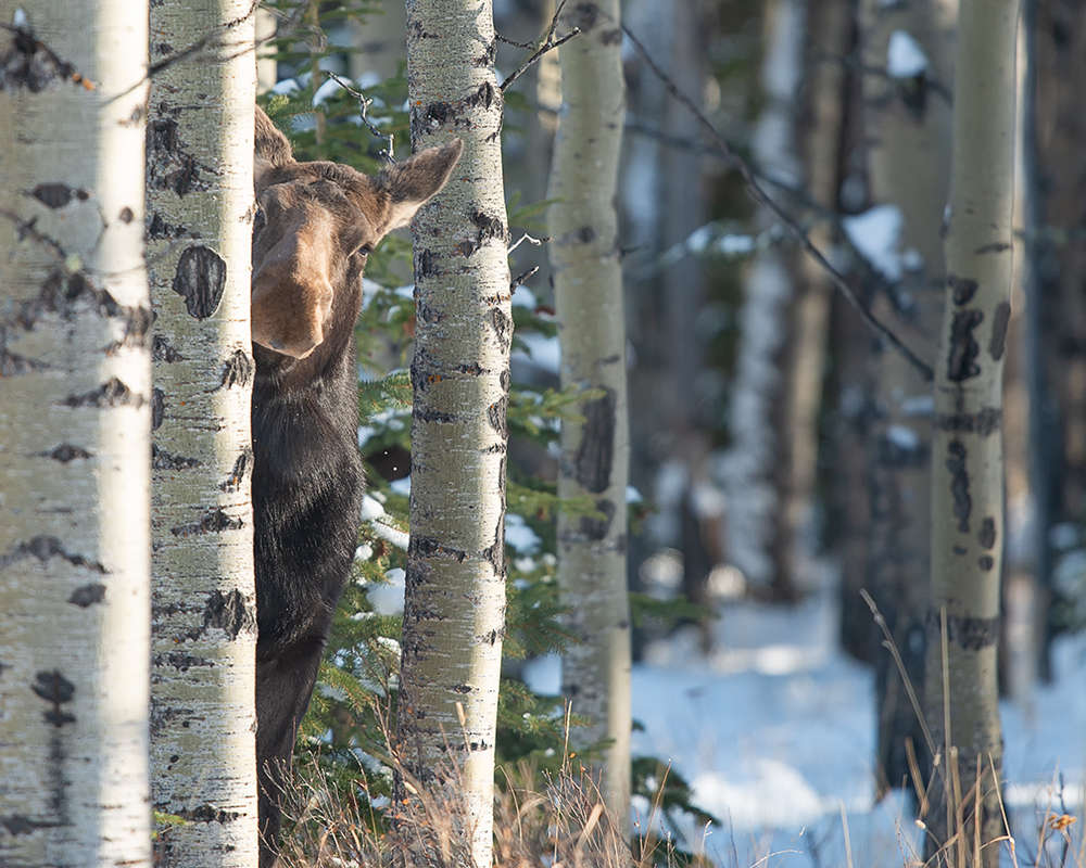 The Comedy Wildlife Photography Awards 2018 Jamie Bussey Calgary Canada Phone: 14035106969 Email: albinomuppet@gmail.com Title: Crouching Tiger, Peeking Moose Caption: What are you doing in my forest? Description: Animal: Moose Location of shot: Southern Alberta, Canada