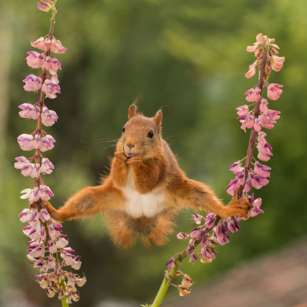 The Comedy Wildlife Photography Awards 2018 Geert Weggen Bispgården Sweden Phone: 046768492056 Email: geertweggen@yahoo.com Title: split Caption: red squirrel in split Description: wild red squirrel in a split between lupines Animal: red squirrel Location of shot: Bispgården