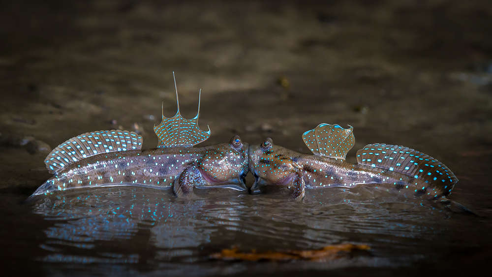 The Comedy Wildlife Photography Awards 2018 Sergey Savvi Saint-Petersburg Russian Federation Phone: +79052665780 Email: wildsapiens@gmail.com Title: Hot Kiss Caption: Hot Kiss Description: Mudskippers look like failing in love, but actually they're fighting for the territory. Animal: mudskippers Location of shot: Krabi, Thailand
